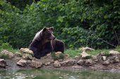 Brown bear standing near a pond