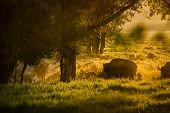 Buffalo Herd Grazing At Dawn In The Tetons