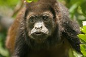 Adult mantled howler monkey (Alouatta palliata) face