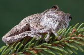 Gray Tree Frog On Pine Branch