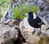 Australian Magpie Gymnorhina Tibicen