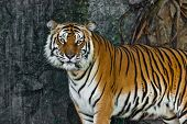 picture of tigress  - Female wild tiger from Thailand taken in a sunny day can be use for related wild animal concepts and conservation print outs - JPG