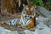 pic of tigress  - Female wild tiger from Thailand taken in a sunny day can be use for related wild animal concepts and conservation print outs - JPG
