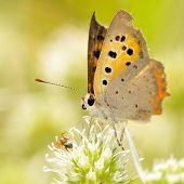 butterfly outdoor (lycaena dispar)