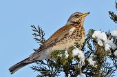 foto of brown thrush  - red wing thrush  - JPG