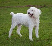 stock photo of standard poodle  - Standard sized white poodle standing on a green lawn - JPG
