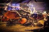 stock photo of piranha  - Shoal of tropical piranha fishes in freshwater aquarium - JPG