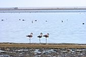 stock photo of greater  - Greater Flamingos - JPG