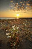 Campo de flores costeira ao pôr do sol