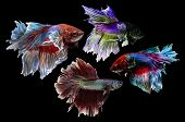 stock photo of siamese  - Siamese Fighting Fish isolated on black  - JPG