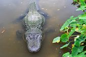 American alligator in tropical lake