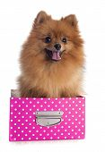 stock photo of miniature pomeranian spitz puppy  - pomeranian spitz in front of white background - JPG