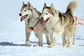 stock photo of sled dog  - A husky sled dog team at work with tongue outside by winter day - JPG