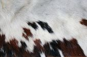 A Section of Genuine 100% Cow Hide with its Fur still attached. Cow Hide and Cow Leather are used ar