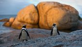 Also Known As The Jackass Penguin And Black-footed Penguin