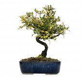 stock photo of honeysuckle  - Honeysuckle bonsai tree - JPG