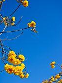 Yellow Silk Cotton Flowers