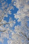 Branches Of Birches In The Frost