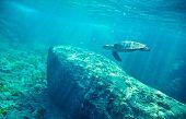 Green Sea Turtle (Chelonia mydas). Similan islands