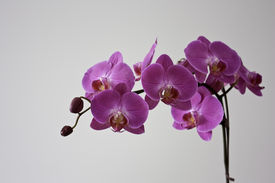 image of six-petaled  - A Magenta Orchid blooms with six blossoms and two buds on a blank background, it