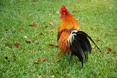 Rooster on Grass