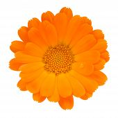 Calendula (Pot Marigold) Flower Isolated On White Background