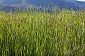 stock photo of bulrushes  - Summer landscape with bulrush and mountains Guadalajara Spain - JPG