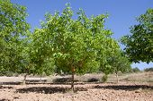 foto of walnut-tree  - Walnut trees on rows for intensive crops - JPG