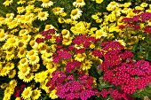 Red and yellow meadow. flowers