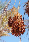 Ripe dates on the palm tree
