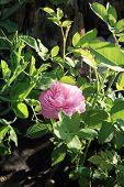 historic pink rose