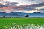 Sunrise over paddy field