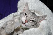 pic of veterinary clinic  - intubated kitten waking up from anesthesia - JPG