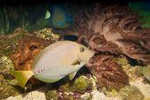 Razor Surgeonfish In Aquarium