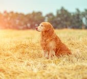 Golden Retriever in the straw in rural areas in summer