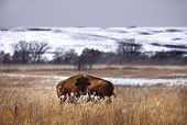 foto of tallgrass  - Bison stand among the dry grass of the winter prairie - JPG