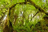 Mossy Tree branch arched in forest
