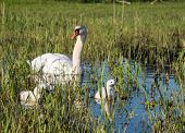 Mute swans and young family