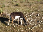 Blackbuck Grazing