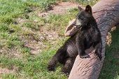 Bear Cub Portrait