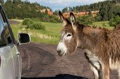 stock photo of burro  - portrait of a friendly wild burro staring at a car window - JPG