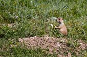 Black Tailed Prairie Dog