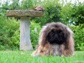 Cute Pekinese Dog