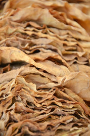 pic of tobaco leaf  - Picture of a Drying tobacco leaves on sun  - JPG
