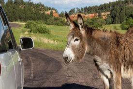 stock photo of burro  - portrait of a friendly wild burro staring at a car window - JPG