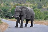 image of gentle giant  - An African Elephant Bull in an aggressive mood crossing a road in the Kruger Park South Africa - JPG