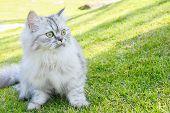 Persia Cat