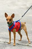 image of miniature pinscher  - Miniature Pinscher in Chinese suit - JPG