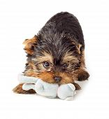 image of toy dog  - Playful dog with chew toy - JPG