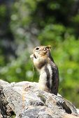 foto of chipmunks  - A chipmunk sits atop a rock nibbling on a nut - JPG